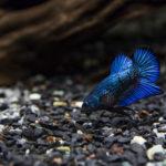 熱帯魚のベタの生息地はどこ