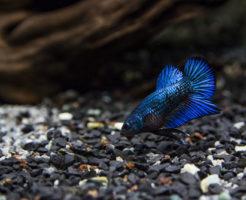 熱帯魚 ベタ 生息地